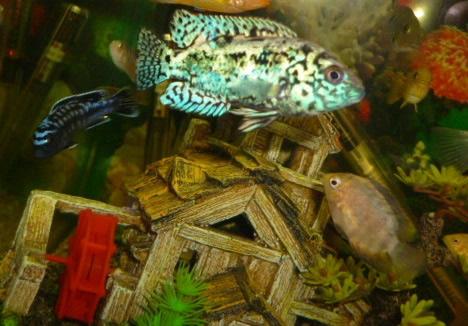 Cedritos bogot venta peces accesorios mascotas peceras for Alimentacion para peces de acuario