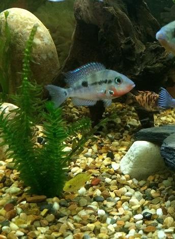 Cedritos bogot venta peces accesorios mascotas peceras for Artemia para peces